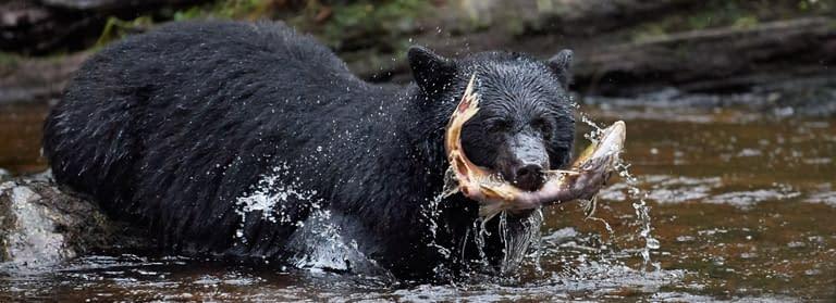 Ocean-Light-II-Great-Bear-Rainforest-3-Black-Bear-Fish