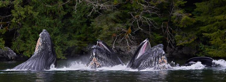 Ocean-Light-II-Great-Bear-Rainforest11_HumpbacksFeedingx4