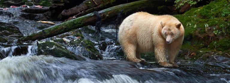 Ocean-Light-II_Great-Bear-Rainforest-13_Spirit-Bear