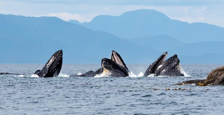 normhann.com-greatbear-whales2