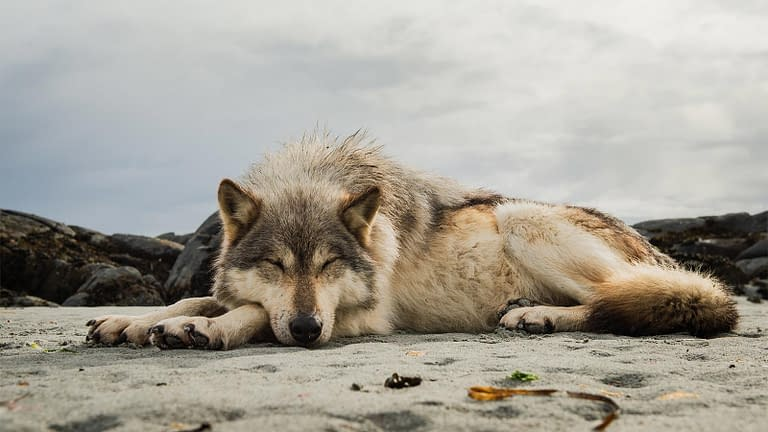 Picture of a BC Coastal sea wolf