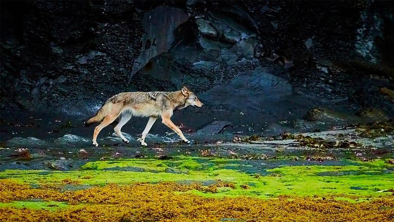 coastal sea wolf on beach - photographer Tom MacPherson