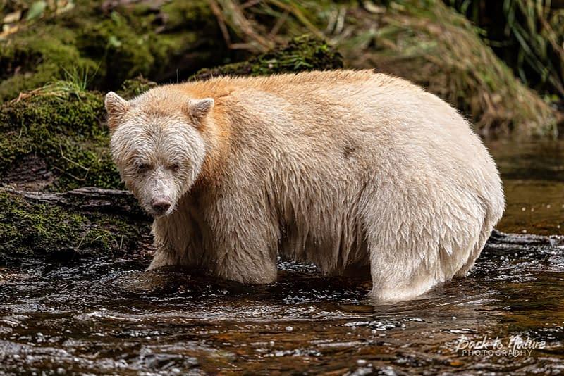 Back to Nature Apparel Spirit Bear Print
